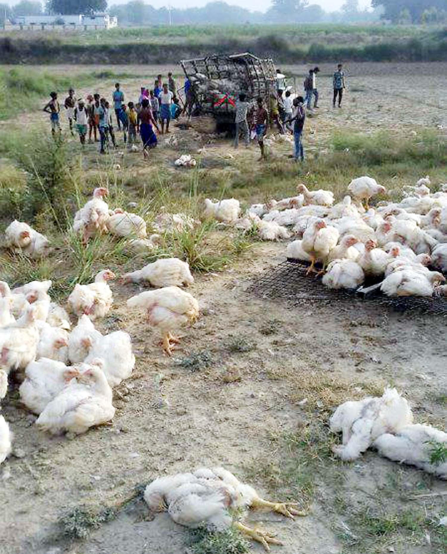 जौनपुर। मुर्गियों से भरी पिकप मंगलवार को अचानक पलट गयी जिसके चलते सैकड़ों मुर्गियां मर गयीं। जानकारी के अनुसार मंगलवार को तड़के लगभग  साढ़े 6 बजे बक्सा थाना क्षेत्र के बरारी गांव में सुल्तानपुर से जौनपुर की तरफ मुर्गियों से भरी पिकप नम्बर यूपी 44 टी 8876 अचानक पलट गयी। यह हादसा चालक को नींद आने से हुआ है जिसमें उसका दाहिना हाथ टूट गया। हादसे को देख मौके पर जुटे लोगों ने एम्बुलेंस बुलवाकर घायल चालक को उपचार हेतु स्थानीय सरकारी अस्पताल भिजवाया। वहीं इस हादसे में सैकड़ों मुर्गियों की दबने से मौत हो गयी।